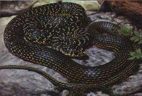 Rettili for Serpente nero italiano
